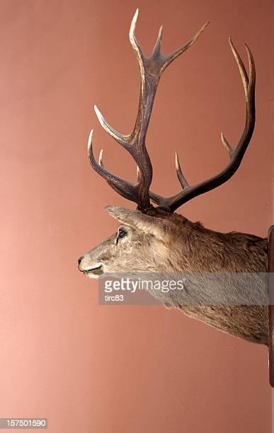 Hirschgeweih's head auf einem an der Wand montierten