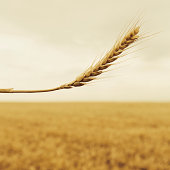 A stalk of wheat with a ripening ear at the top. A background of a ripening ear. A food crop in the background.