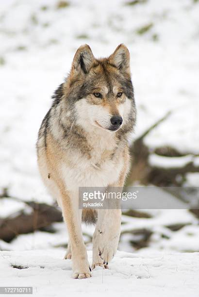 Stalking Mexican Gray Wolf (Canis lupus)