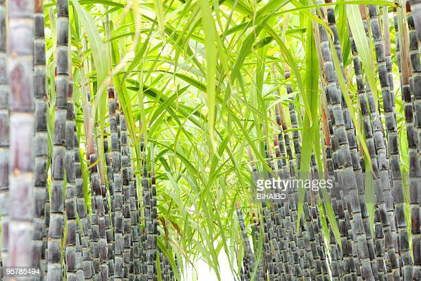 Stalks of sugar cane lined up in rows outside