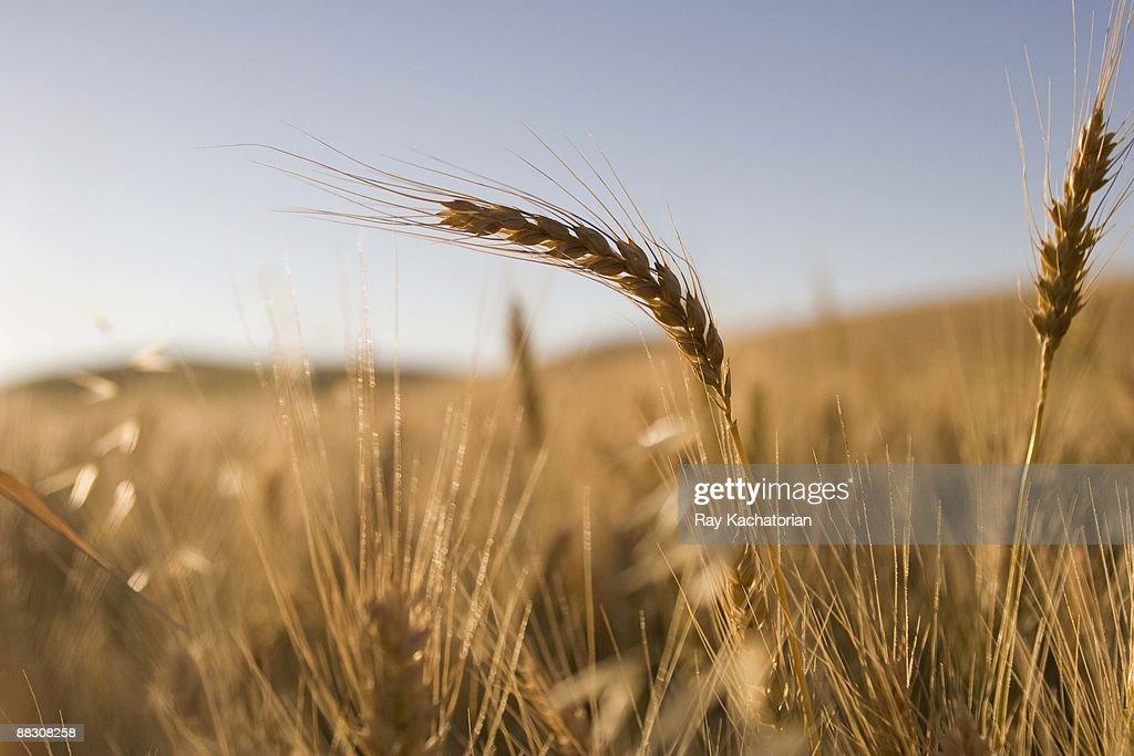Stalks of wheat : Stock Photo