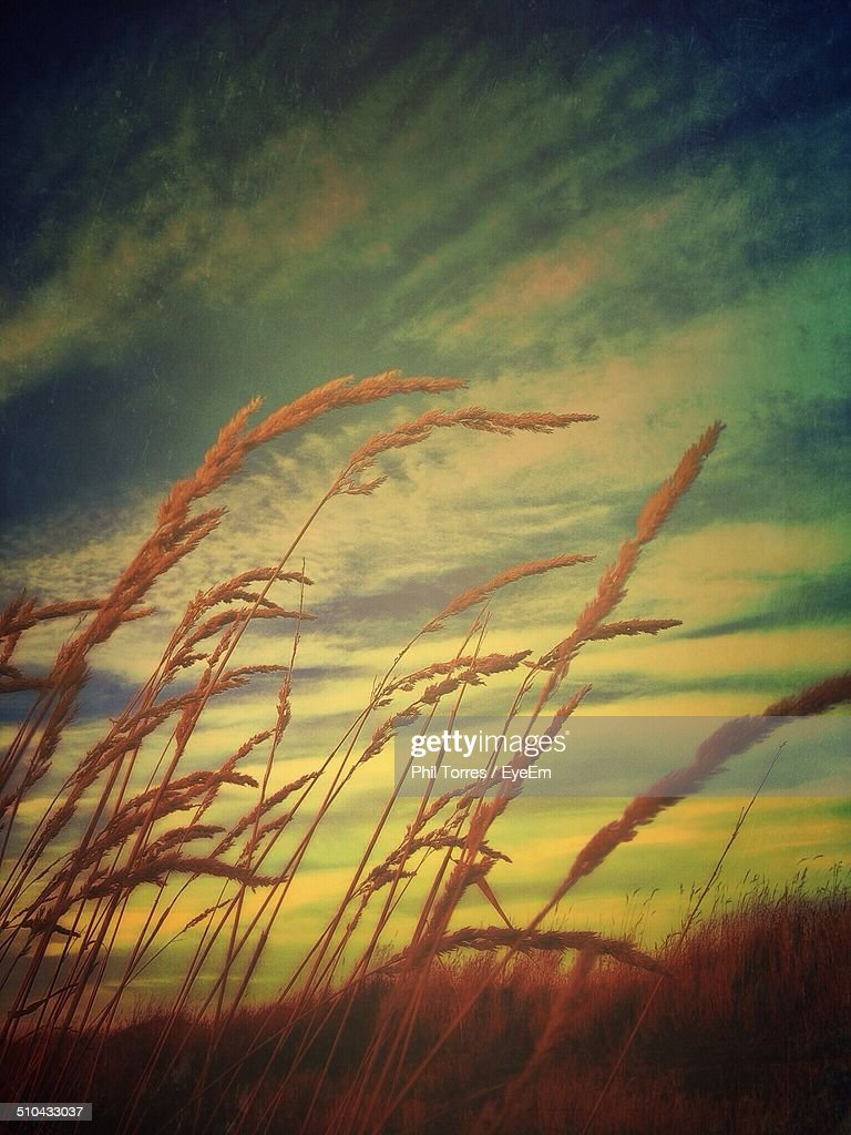 Stalks swaying in wind against clouds