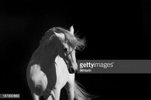 Stallion on Black
