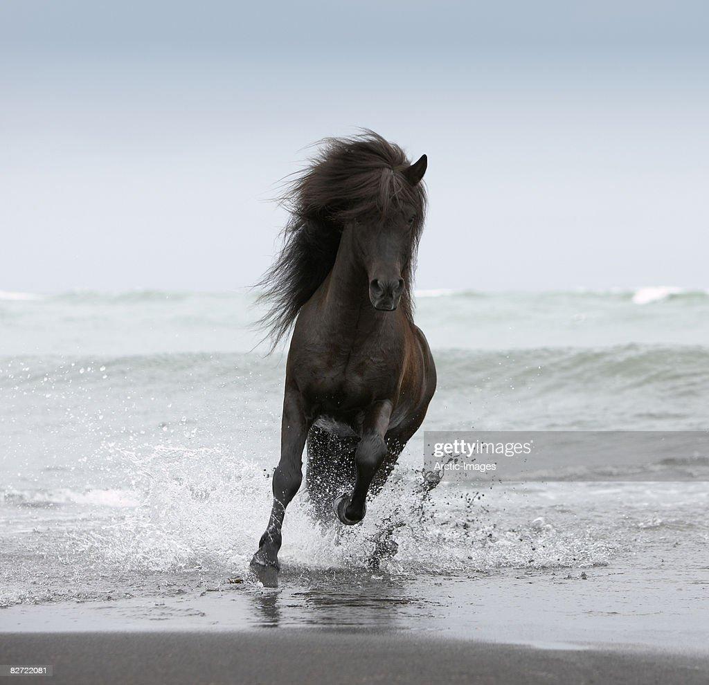 Stallion running on Beach : Stock Photo
