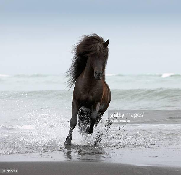 Stallion running on Beach