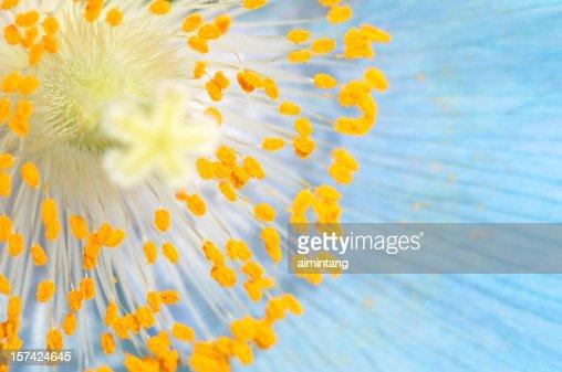 Stamen of Blue Poppy