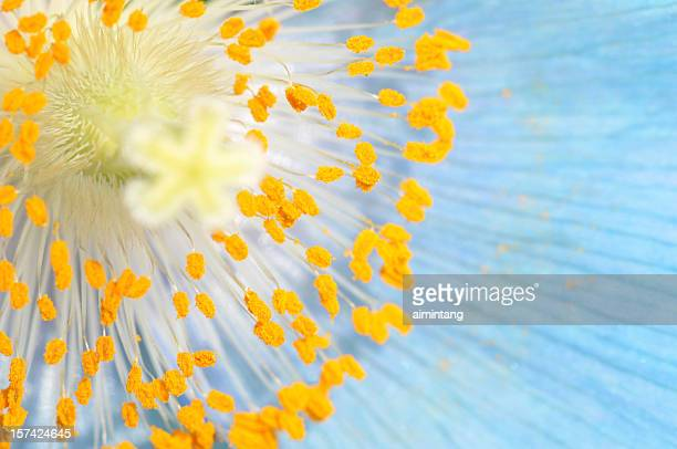 Stamen of Blue Poppy