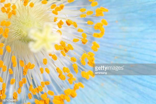 Staubblatt Blue Poppy