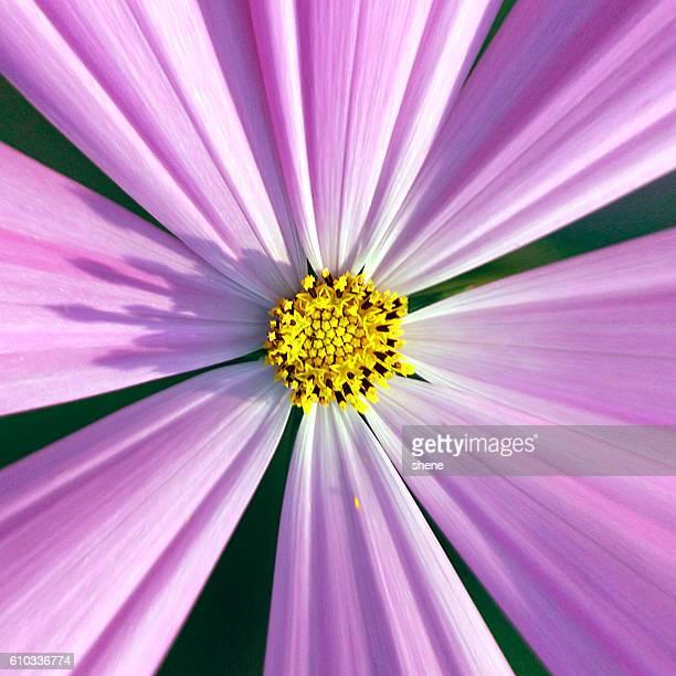 Stamen of Cosmos Flower
