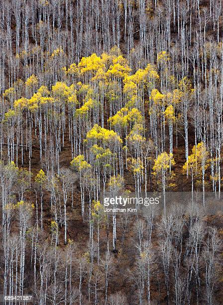 A stand of poplar trees in Utah.
