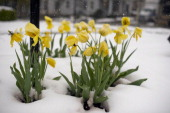 A stand of tulips sits blanketed in snow in Somerset PA after of 8 inches of snow pounded highlying areas in Southwestern Pennsylvania Monday April...