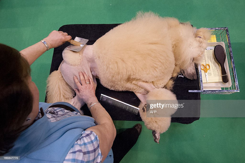 A Standard poodle is groomed by its owner during the second day of the Crufts dog show in Birmingham, in central England on March 8, 2013. The annual event sees dog breeders from around the world compete in a number of competitions with one dog going on to win the 'Best in Show' category.