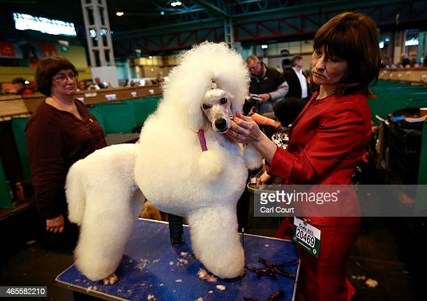 Standard Poodle is groomed on the fourth and final day of Crufts dog show at the National Exhibition Centre on March 8 2015 in Birmingham England...
