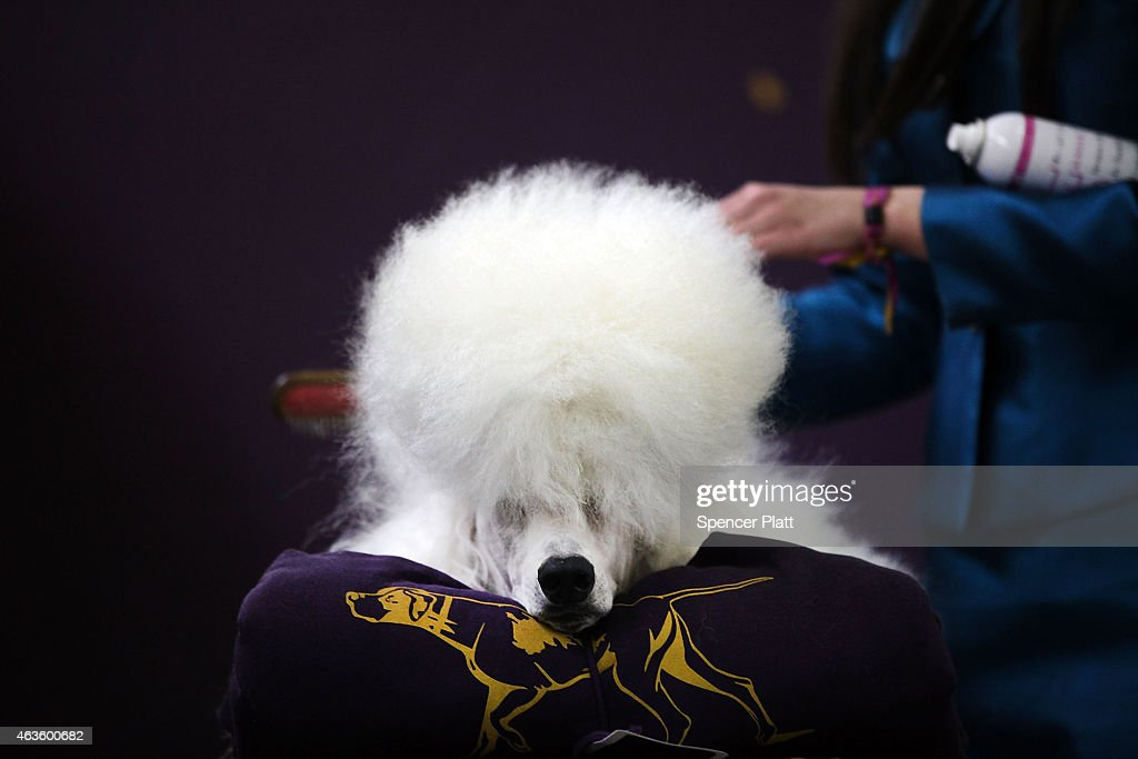 A standard poodle named Paris has his hair done at the Westminster Kennel Club Dog Show on February 16 2015 in New York City The show which is in its...