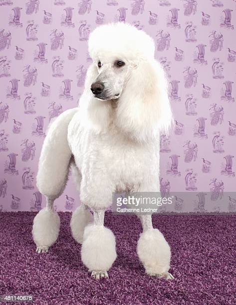 Standard Poodle on Carpet and Wallpaper