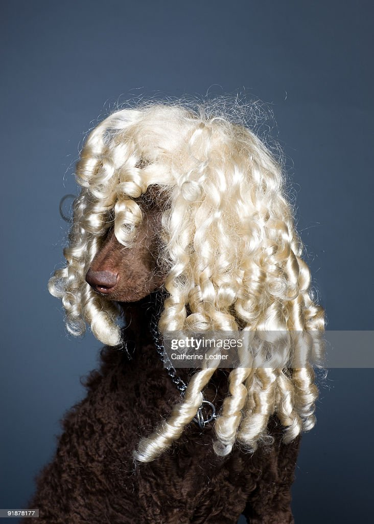 Standard Poodle (Canis Familiaris) with Blonde Wig : Stock Photo