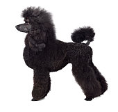 Standart black poodle standing on white backgraund