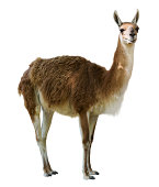 Standing guanaco. Isolated on white background