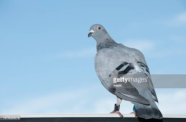 Standing homing pigeon looking leg-rings blue sky close-up