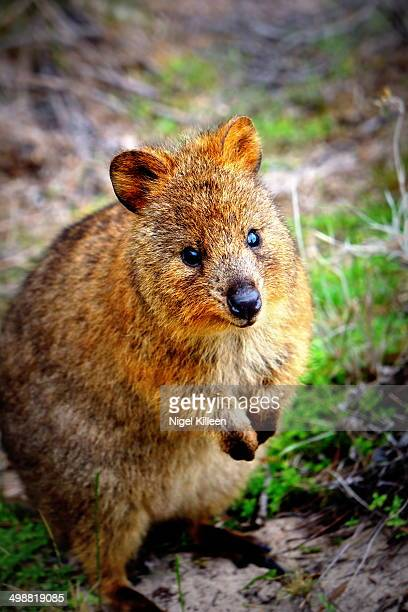 Standing quokka, close up