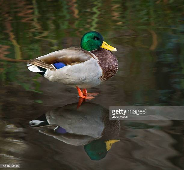 standing wild male Mallard Duck and his reflecton