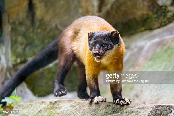 Standing yellow-throated marten on the rock