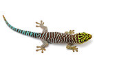 Standings day gecko sits on hands isolated on white background