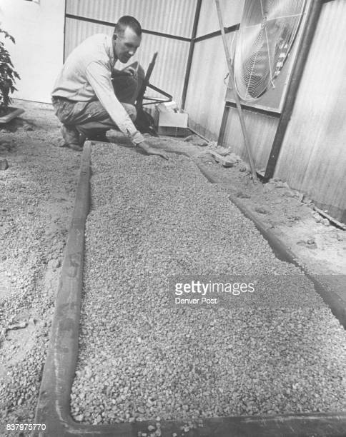 Stanley Fluharty of Sterling Colo prepares a gravelfilled tray for planting tomatoes in his new hydroponic farming project Seed will be planted then...