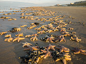 Large number of star fish washed ashore on the beach