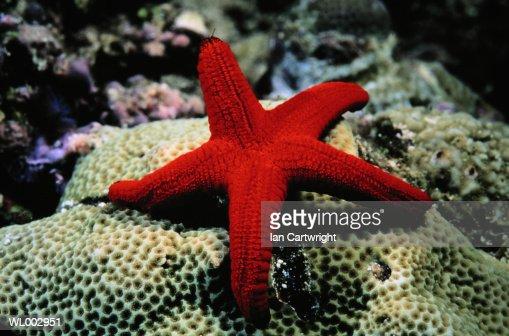 Star Fish -- Red Sea : Stock Photo