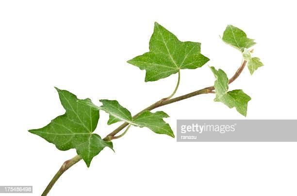 star-ivy