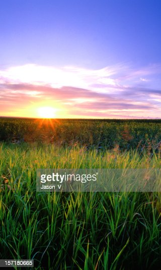 Starburst sunrise over wheat field
