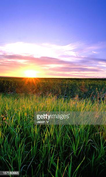 Starburst sunrise over wheat field