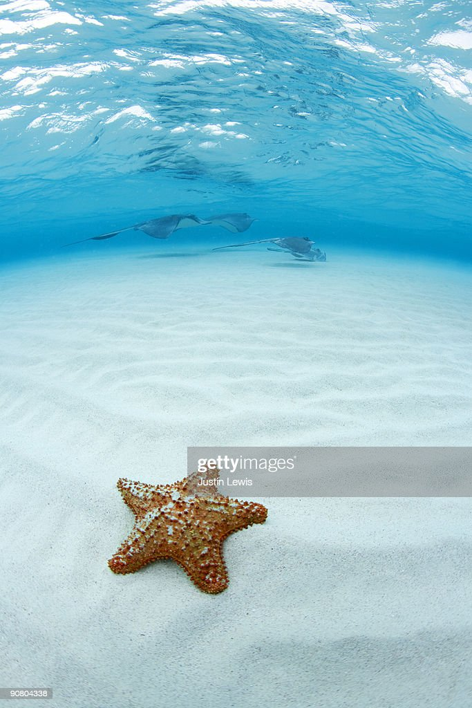 A Red Starfish (Asteroidea), Southern Stingray (Dasyatis americana) and clear Caribbean water. Shot at Stingray City Grand Cayman.