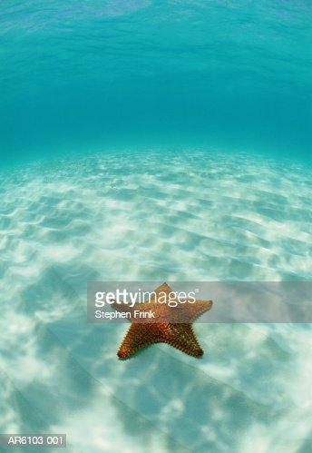 Starfish (Oreaster reticulatus) Atlantic Ocean, underwater view : Stock Photo