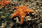Starfish underwater, Oreaster reticulatus, over coral seabed