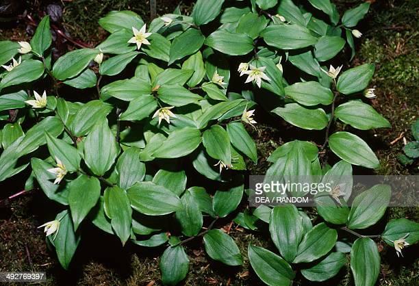 Starflowered fairy bells in bloom Colchicaceae