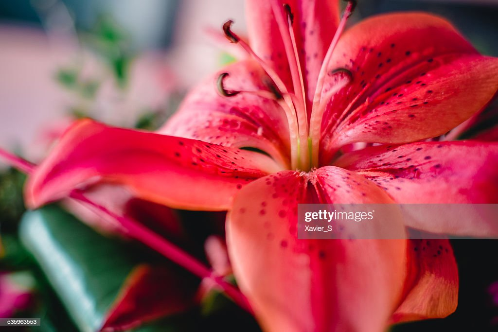 Stargazer lily flower : Stock Photo