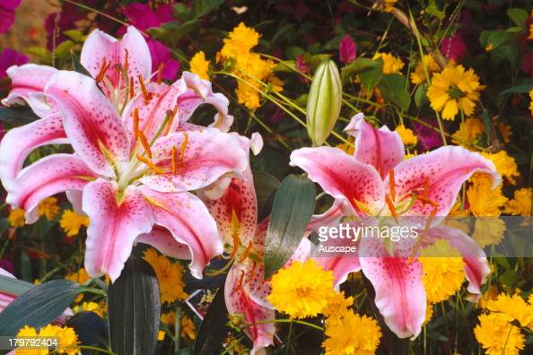 Stargazer lily Lilium flowers The heavily scented flowers face the sky