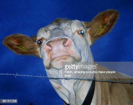 Staring Cow against Dark Blue Sky
