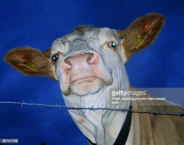 Staring Cow against Dark Blue Sky