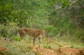 Staring leopard in Yala national park