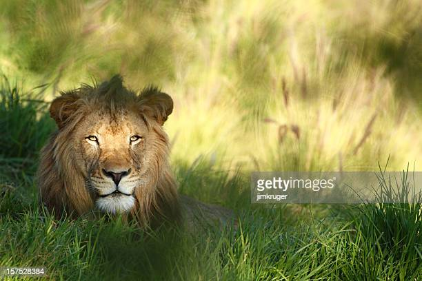 Staring lion in field of grass with copyspace.