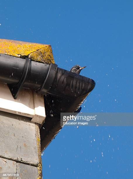 Starling Sturnus vulgaris having a bath in a house gutter St Ives Cornwall UK