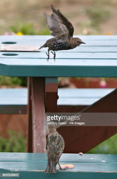 A starling takes flight after scavenging for leftover food from a picnic bench on Blackheath in southeast London