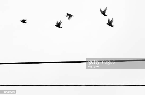 Starlings Flyby