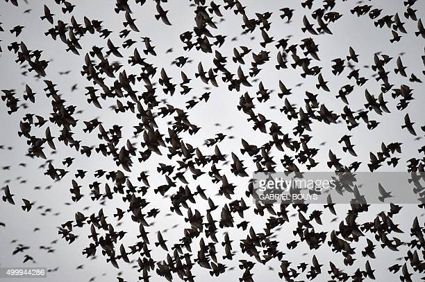 Starlings migrating from northern Europe fly in the sky above Rome on December 4 2015 About onemillion starlings migrate in Rome during autumn and...