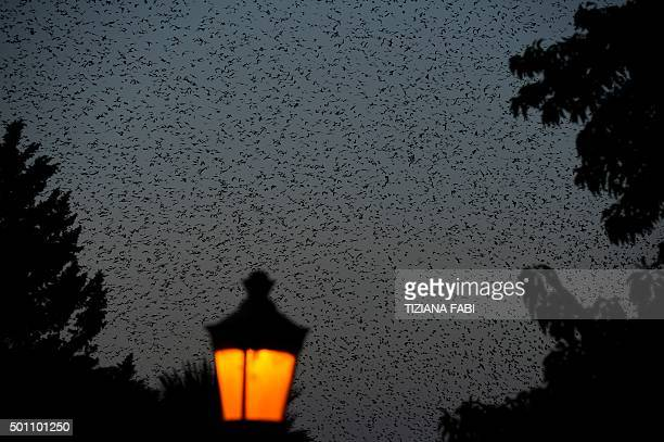 Starlings migrating from northern Europe fly in the sky above Rome on December 12 2015 About onemillion starlings migrate in Rome during autumn and...