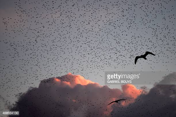 Starlings migrating from northern Europe fly in the sky of Rome on November 3 2014 About onemillion starlings migrate in Rome during autumn and...