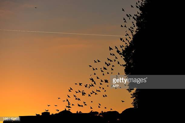 Starlings migrating from northern Europe fly on November 8 2012 over Rome About onemillion starlings migrate in Rome during autumn and winter time...